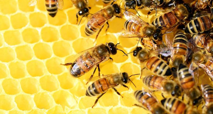 kanuka honey vs manuka honey